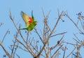 Cuban Parakeet in flight