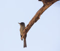 Cuban pewee on dry branch a contopus caribaeus sits a which is it s watching point Stock Photography