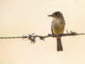 Cuban pewee on a wire contopus caribaeus sits which is it s watching point Royalty Free Stock Photography