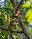 Cuban Pygmy Owl on a branch
