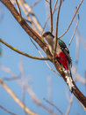 Cuban trogon with caterpillar a priotelus temnurus feeds on agreen the is an endemic bird to the island of cuba Royalty Free Stock Image