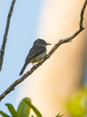 Cuban Vireo on a branch