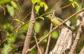 A Cuban Vireo in the thicket Royalty Free Stock Photo