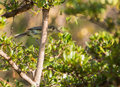 Cuban vireo in the thicket a gundlachii perches thick vegetation a tree cuba it is endemic to this island of cuba Royalty Free Stock Photos
