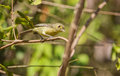 The Cuban Vireo in the thicket of the vegetation