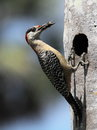 Cuban Woodpecker