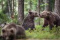 The Cubs of Brown bears (Ursus Arctos Arctos) playfully fighting Royalty Free Stock Photo