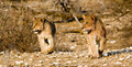 Cubs di leone sul prowl Fotografia Stock Libera da Diritti