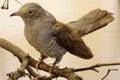 Cuckoo Taxidermy