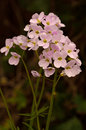 Cuckooflower also known as lady s smock cardamine pratensis Royalty Free Stock Photography