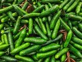 Cucumber background harvest. Many cucumbers. Fresh cucumbers from the field. Royalty Free Stock Photo