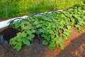 Cucumber bed with ripening cucumbers in home garden Stock Images
