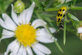 Cucumber beetle yellow and black spotted near a white flower Royalty Free Stock Photos