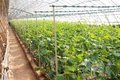 Cucumber cultivation the scenery of greenhouse Royalty Free Stock Image