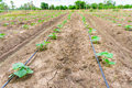 Cucumber field growing with drip irrigation system. Royalty Free Stock Photo