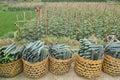 Cucumber field Royalty Free Stock Photo