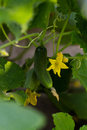 Cucumber flower Royalty Free Stock Photo