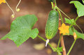 Cucumber in a garden Royalty Free Stock Photo