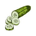 Cucumber hand drawn vector. cucumber. Vegetable engraved style illustration. Detailed vegetarian food drawing