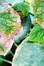 Cucumber leaves disease Royalty Free Stock Photo