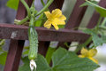 Cucumber plant and flower a hanging from the stem by its in a garden Royalty Free Stock Photo