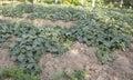 Cucumber farm Royalty Free Stock Photo