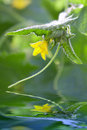 Cucumber plant green in the garden Royalty Free Stock Photos
