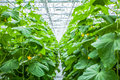 Cucumber plant row Royalty Free Stock Photo