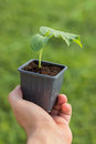 Cucumber Seedling in the hands of agriculture Organic gardening Royalty Free Stock Photo