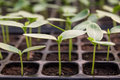 Cucumber seedling in plastic tray Royalty Free Stock Images