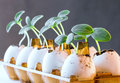 Cucumber sprouts in an eggshell. Royalty Free Stock Photo