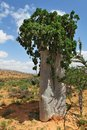 Cucumber tree dendrosicyos socotranus endemic of socotra island Royalty Free Stock Images