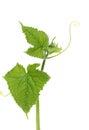Cucumber vine isolated on white background Royalty Free Stock Image