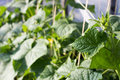 Cucumbers growing in a garden green leaves and flowers Royalty Free Stock Photos