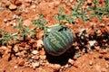 Cucumis myriocarpus melon Royalty Free Stock Photos