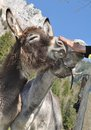 Cuddle a donkey cute donkeys being done muzzle Royalty Free Stock Photos