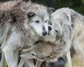 Cuddling wolves Royalty Free Stock Photo