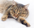 Cuddly cat lying on white background and looking at camera Royalty Free Stock Photos