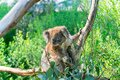 Cuddly koala up tree Royalty Free Stock Photo
