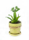 Culantro plant herb in pot on white background for healty food Stock Image