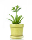 Culantro plant in pot on white background Royalty Free Stock Images