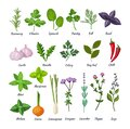 Culinary herbs set. Natural culinary herbs and spices for cooking, eating, food. Green eco-friendly clean fragrant herbs. Royalty Free Stock Photo