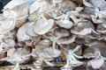 The cultivate of oyster mushroom in plastic that contain sawdust and another materials Royalty Free Stock Photo