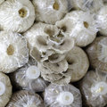The cultivate of oyster mushroom in thai farm Royalty Free Stock Photo