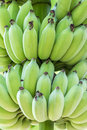 Cultivated banana macro image green on tree in thailand Royalty Free Stock Image
