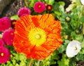 A cultivated flower of the poppy family an orange blooming papaver with daisies in back Royalty Free Stock Photography