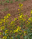 Cultivated land natural with plant of canola Royalty Free Stock Photography