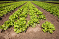 Cultivated lettuces field roman in ruts Royalty Free Stock Photo