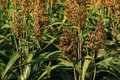 Cultivated sorghum field Royalty Free Stock Photo