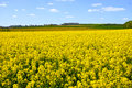 Cultivated yellow raps field in France Royalty Free Stock Photo